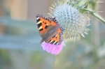 Tortoiseshell butterfly on the big thistle bush in the garden