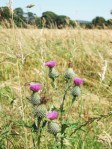 Thistles and barley