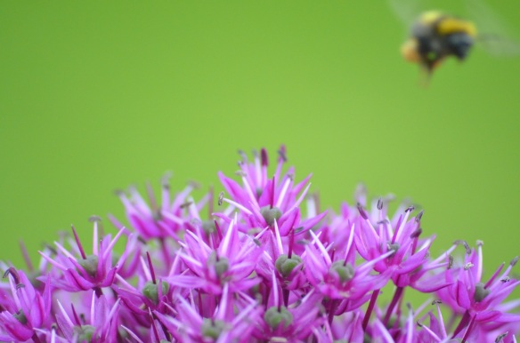 bee and allium